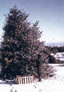 Snow-covered holly tree with Mt. Hood in background